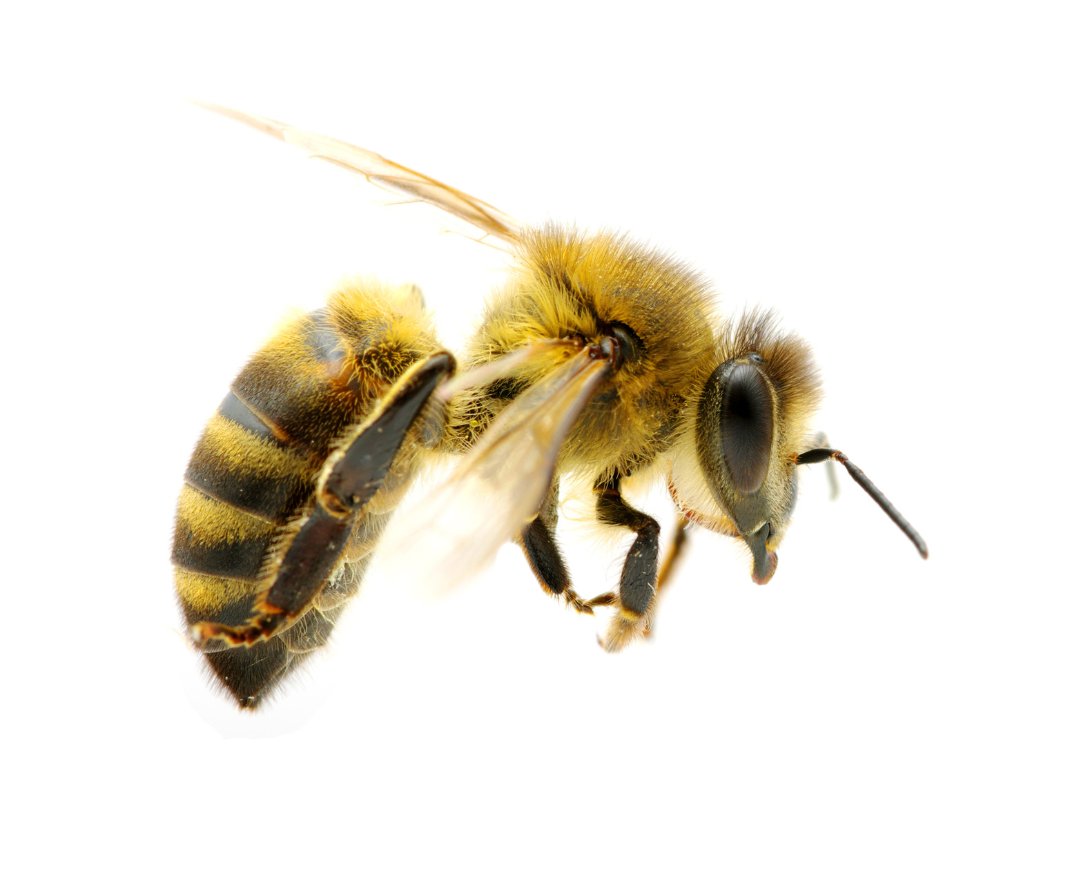 honey bees queen drone and worker with Bees on Bie in addition Whats Wrong With My Hive together with 8254457543 97077cd3cc k also Honeybee Photos further PicturesOfBee.